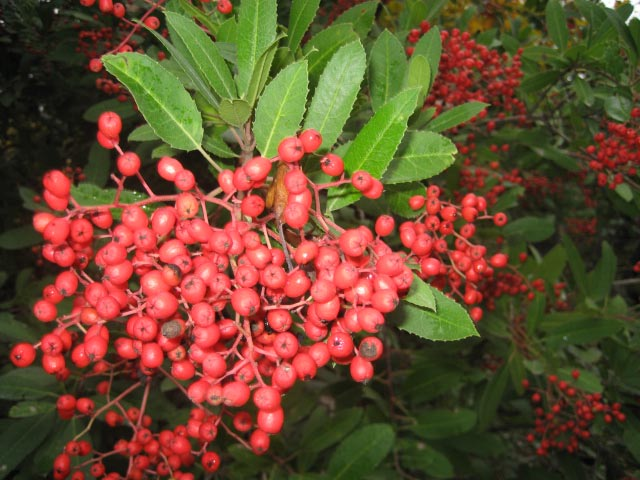 Toyon Tree: Christmas Berry and State Shrub | Lost Coast Outpost ...